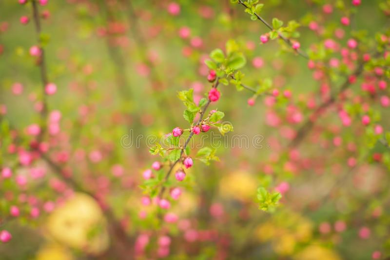 Sakura, piękny czereśniowy okwitnięcie pączkuje w wiośnie Zakończenie w górę wiosen menchii kwiatów pączków czereśniowego tła fotografia stock