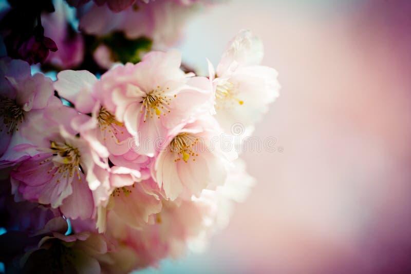 Sakura Pink Cherry Blossoms closeup. Closeup Pink Cherry Blossoms Sakura against Clear Blue Sky royalty free stock photos