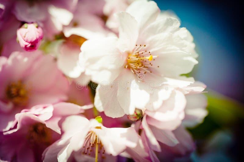 Sakura Pink Cherry Blossoms closeup. Closeup Pink Cherry Blossoms Sakura against Clear Blue Sky stock photos