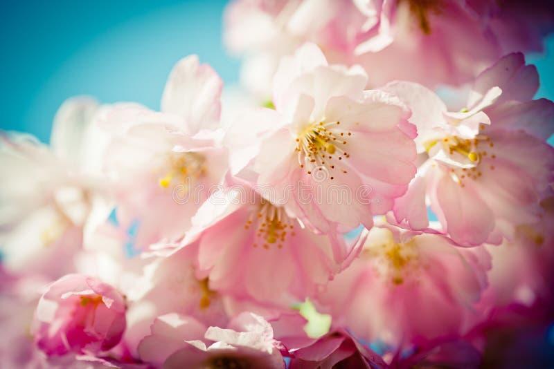 Sakura Pink Cherry Blossoms closeup. Closeup Pink Cherry Blossoms Sakura against Clear Blue Sky stock image