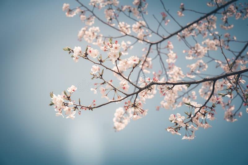 Sakura in primavera fotografia stock
