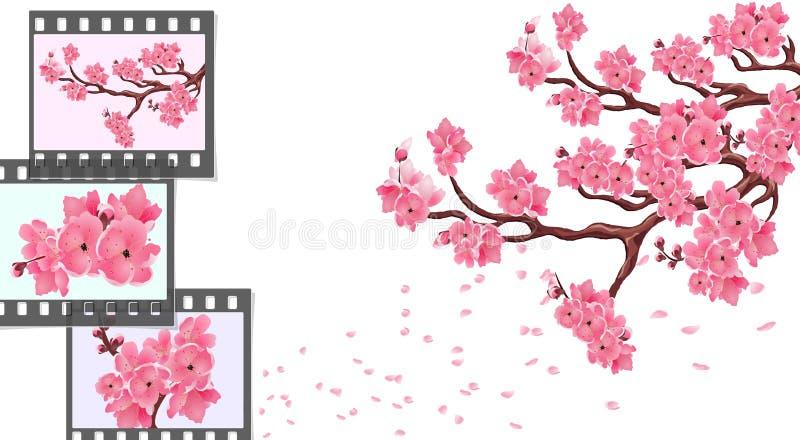 Sakura ramas curvadas de un cerezo con las pequeños flores y brotes y primer de la cereza Capítulos para la película fotográfica stock de ilustración