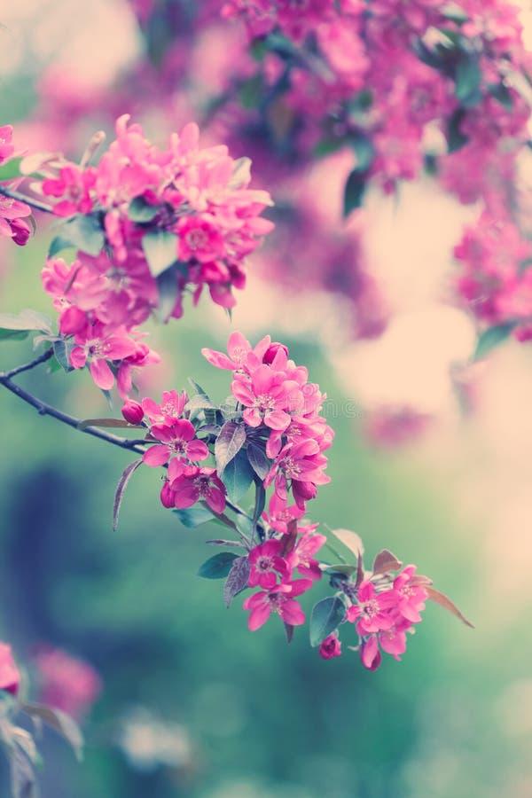 Sakura rode bloesems in de lente stock foto's