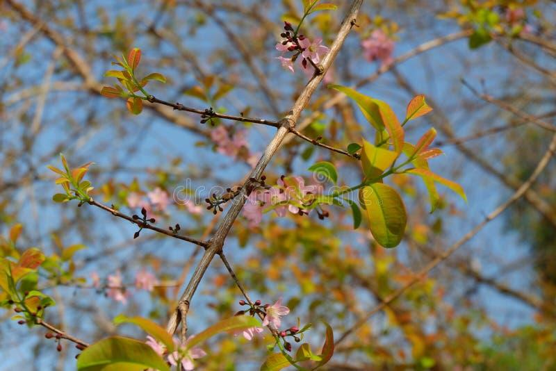 Sakura rosa färgblomning royaltyfria bilder