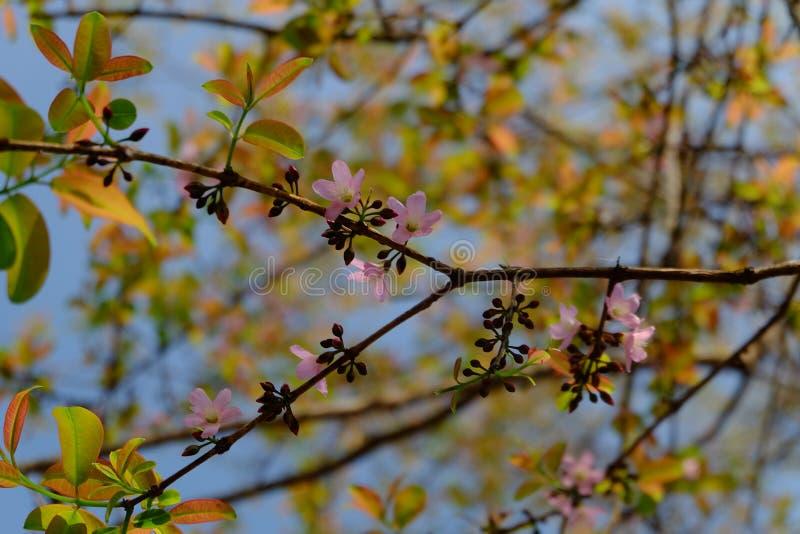 Sakura rosa färgblomning arkivbild