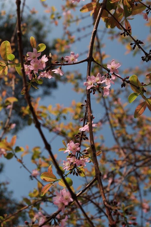 Sakura rosa färgblomning royaltyfria foton