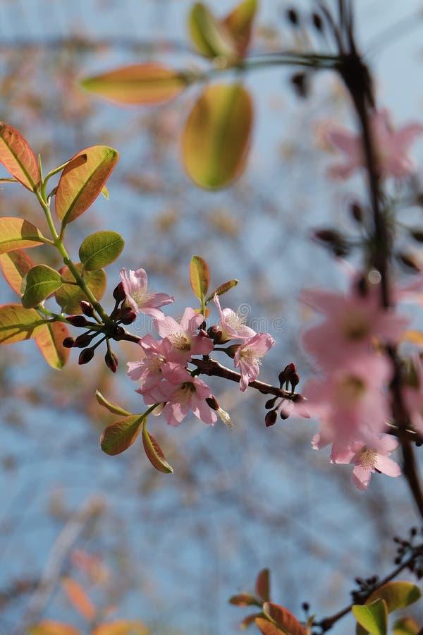Sakura rosa färgblomning arkivfoto