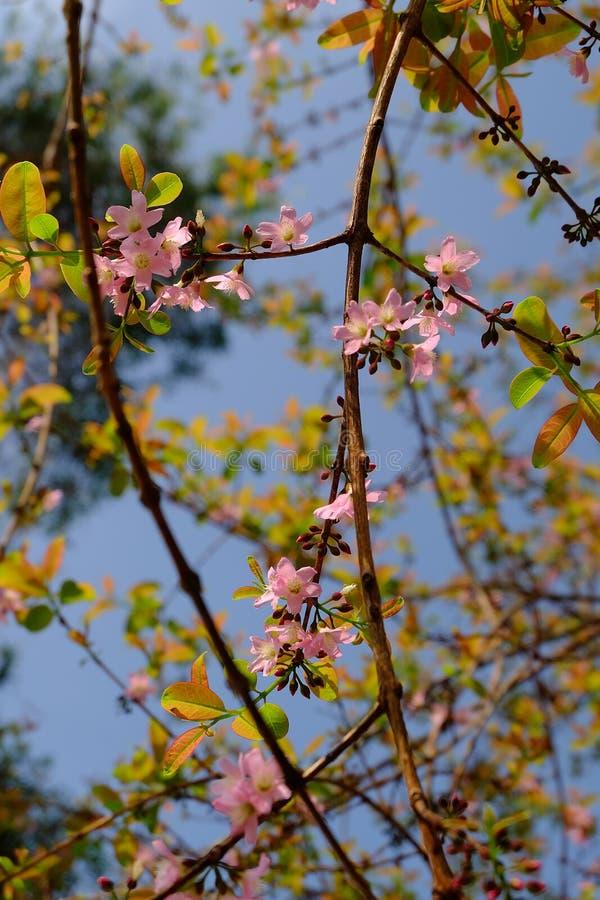 Sakura rosa färgblomning arkivbilder