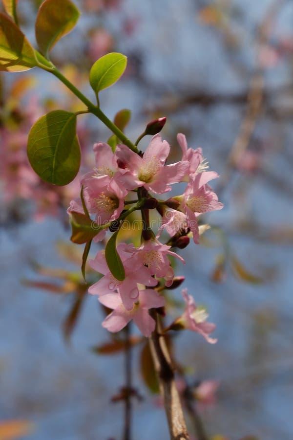 Sakura rosa färger arkivfoto