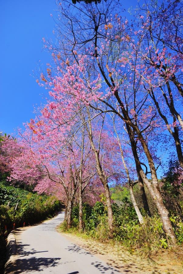 Sakura-rosafarbene Blume oder rosafarbene Blüte in Thailand lizenzfreie stockfotos