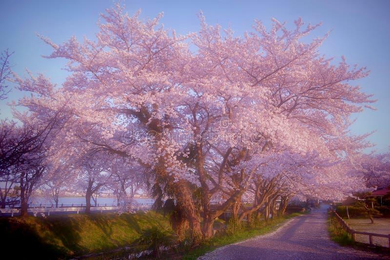 Sakura splendido #2 fotografia stock