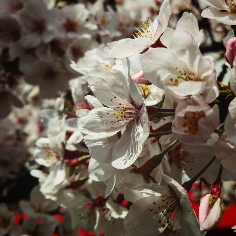 Sakura Spring royaltyfri fotografi