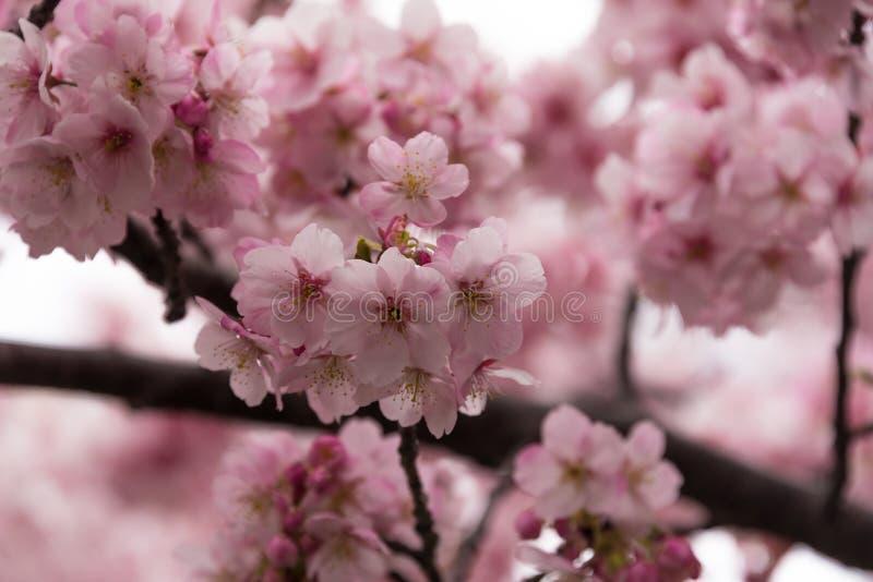 Sakura Spring photos libres de droits
