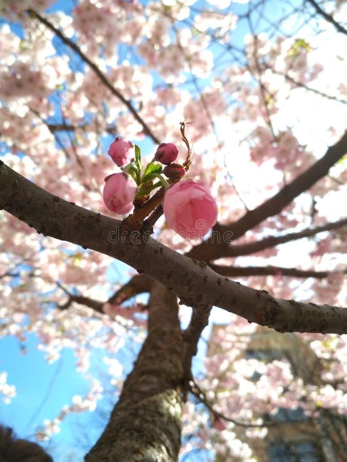 Sakura in St. Petersburg royalty-vrije stock foto's
