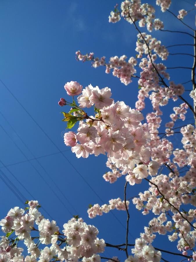 Sakura in St. Petersburg stock foto