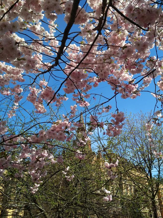 Sakura in St. Petersburg stock fotografie