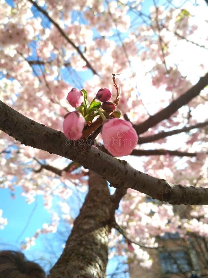 Sakura in St. Petersburg stock afbeeldingen