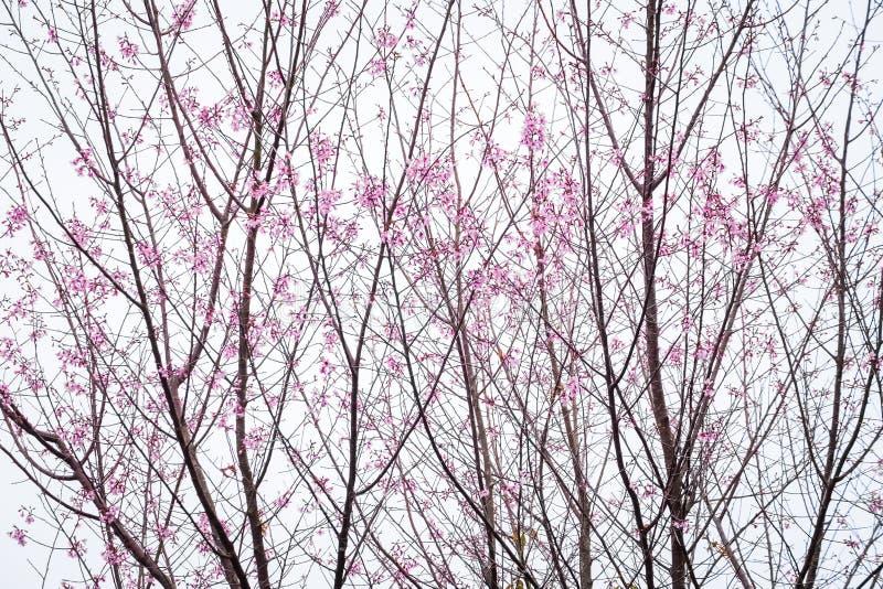 Sakura Starting Blossom tailandese immagini stock libere da diritti