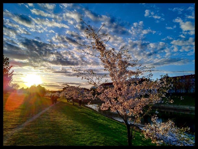 Sakura stock photography