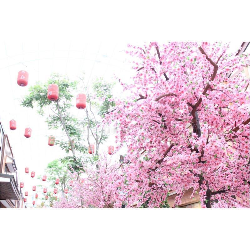 Sakura Tailândia foto de stock royalty free