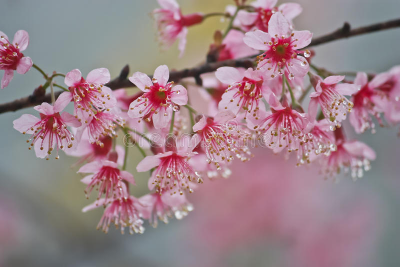 Sakura tailandês fotografia de stock