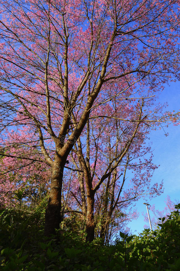 Sakura tailandese che fiorisce durante l'inverno in Tailandia fotografia stock libera da diritti