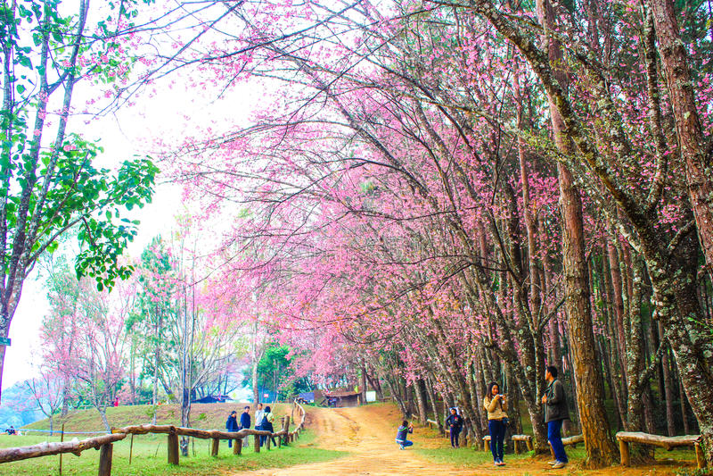 Sakura Tailandia imagen de archivo