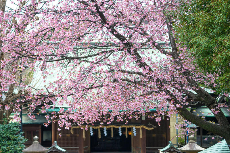 Sakura in the tample. Of Japan stock photos