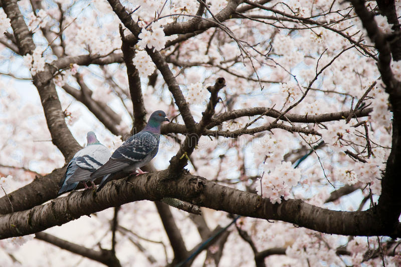 sakura TARGET215_1_ drzewo zdjęcie royalty free