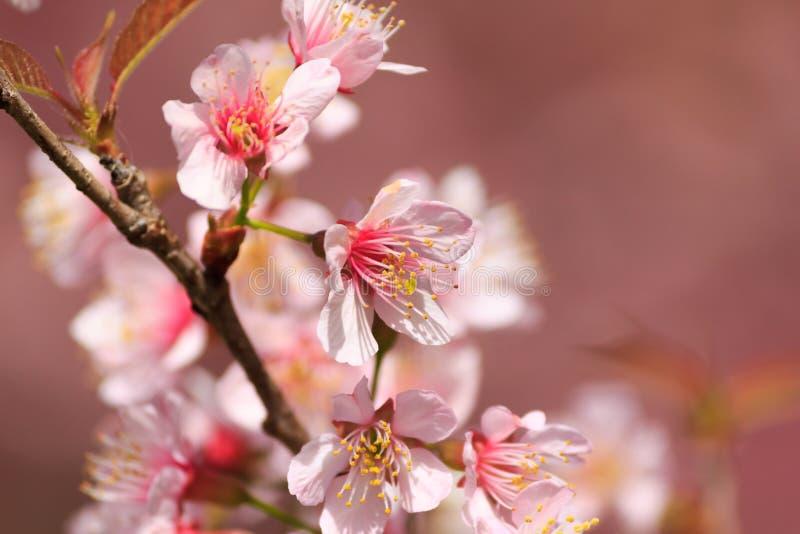 Sakura thaïlandais dans la saison d'hiver image stock