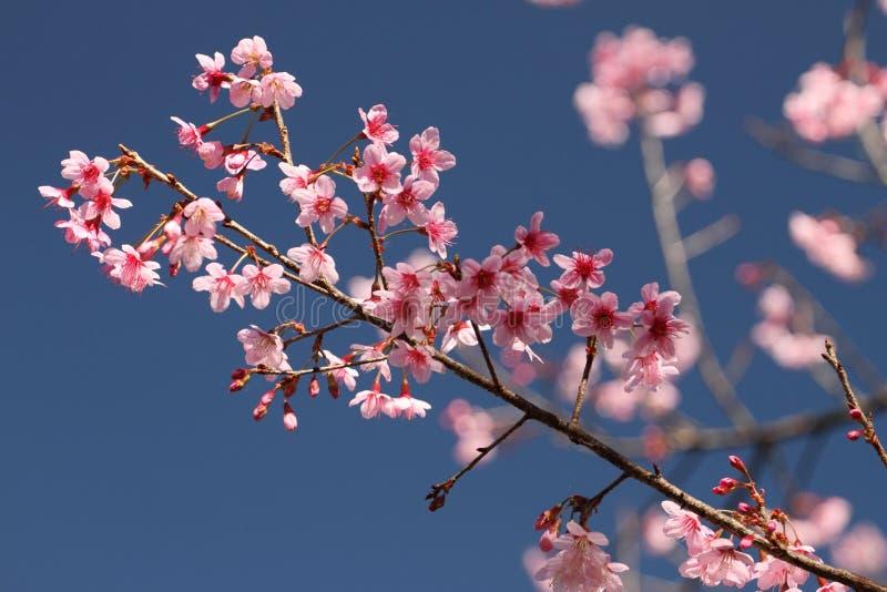 Sakura in Thailand stockbilder