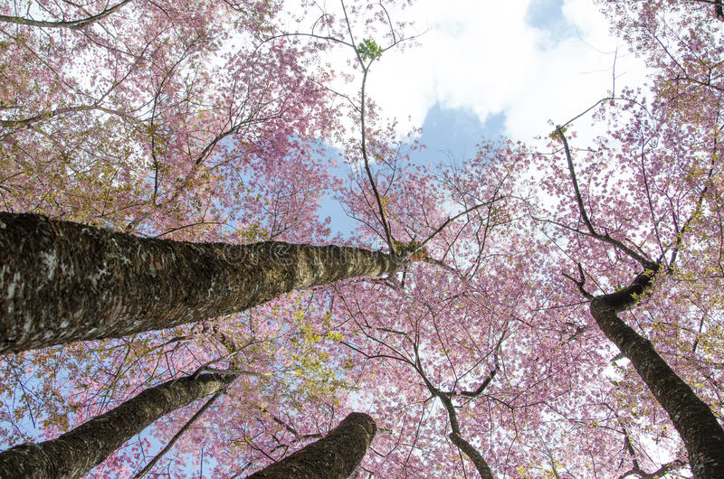 Sakura Thailand fotografia stock