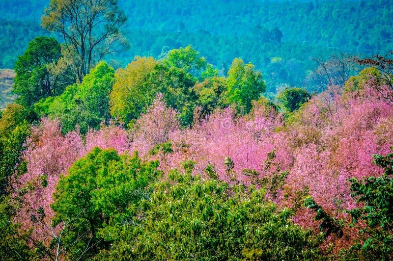 Sakura Thailand lizenzfreies stockbild