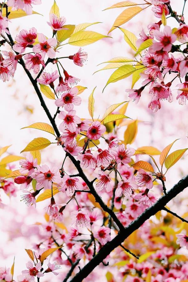 Sakura Thailand stockfotografie