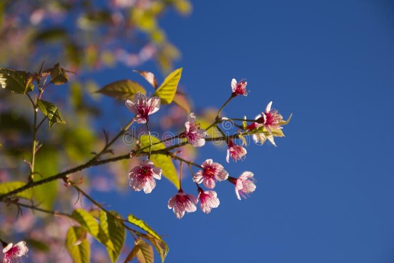 Sakura Thailand zdjęcia stock
