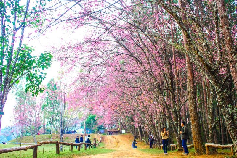Sakura thailand fotografering för bildbyråer