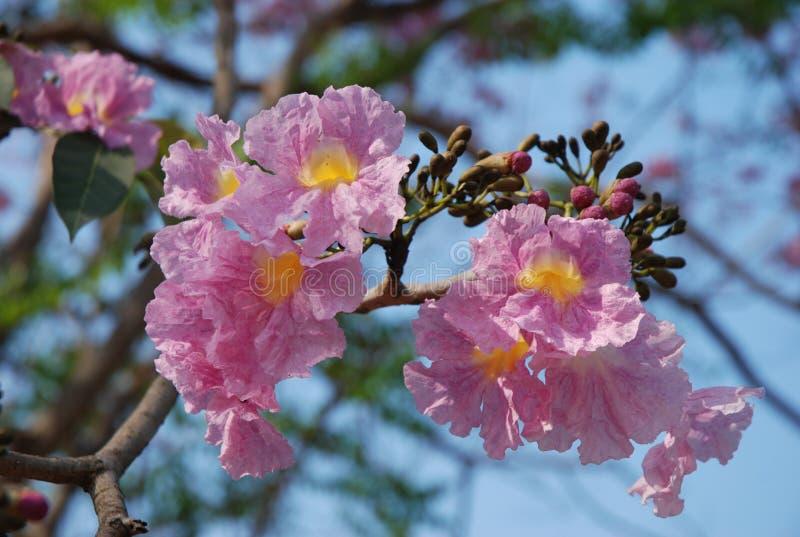 Sakura Thailand blomma fotografering för bildbyråer