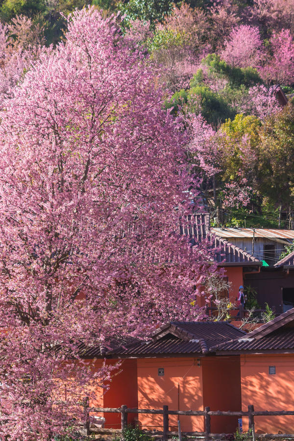Sakura Thailand or Cherry blossom flower bloom on the little village mountain. In front of wooden house in the north of Thailand, stock photos