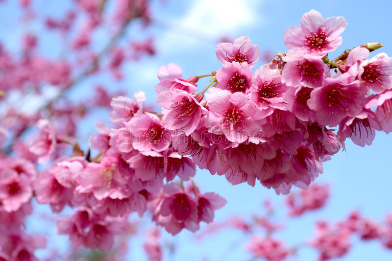 Sakura of Thailand at Chiangmai royalty free stock photography