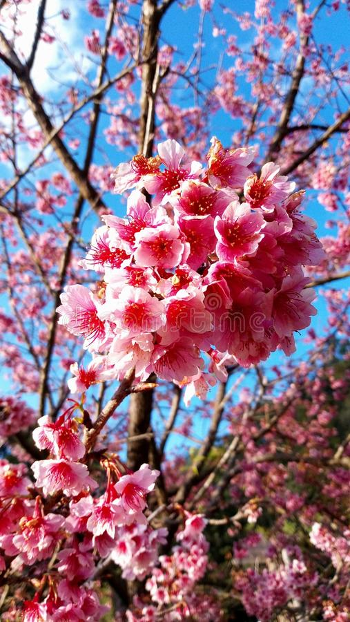 Sakura in Thailand lizenzfreie stockfotos