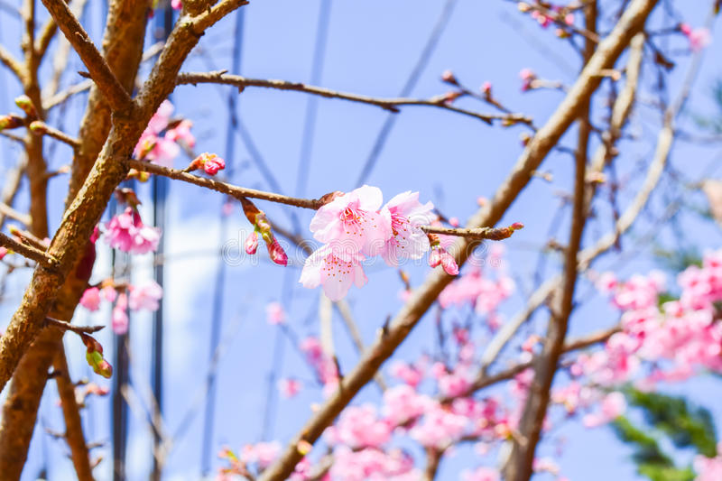 Sakura Of Thailand stock image