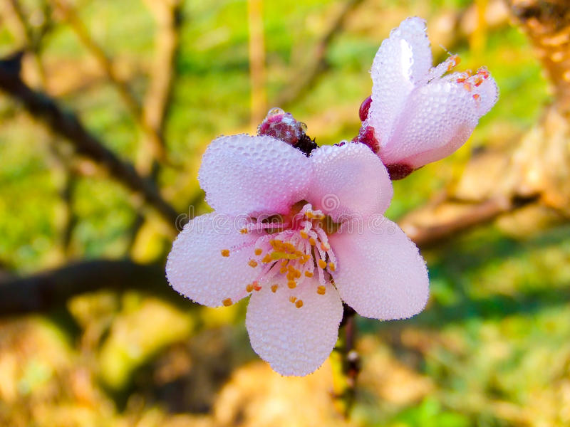 Sakura Thailand or flower queen tiger. royalty free stock images