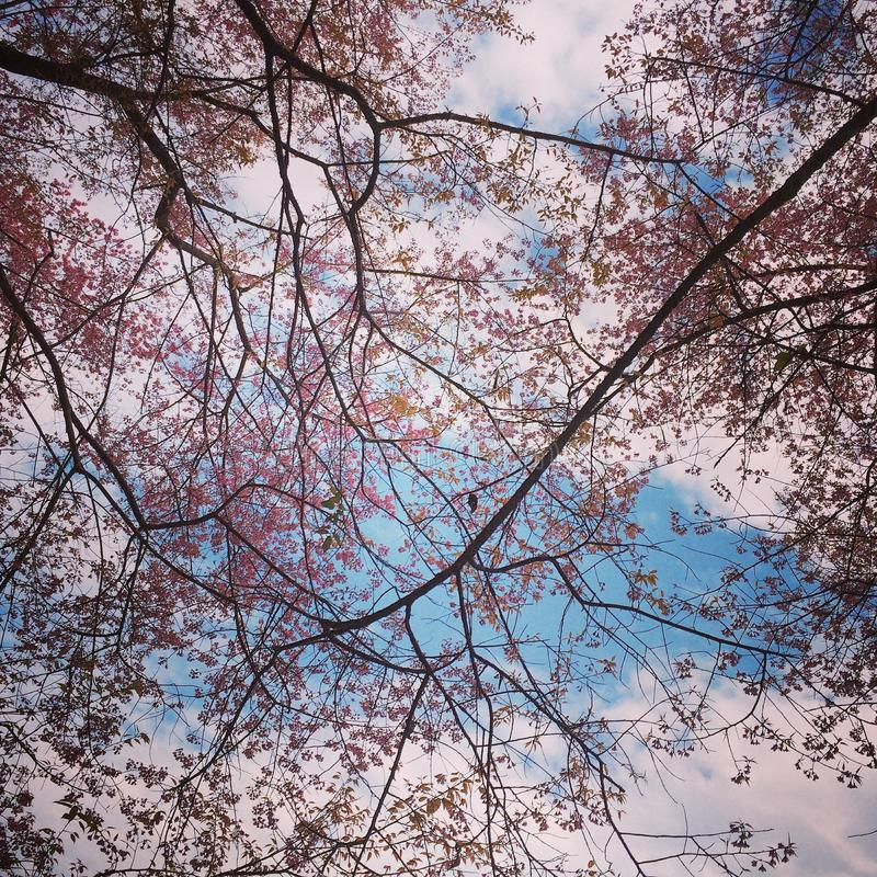 Sakura Thailand royalty free stock photography