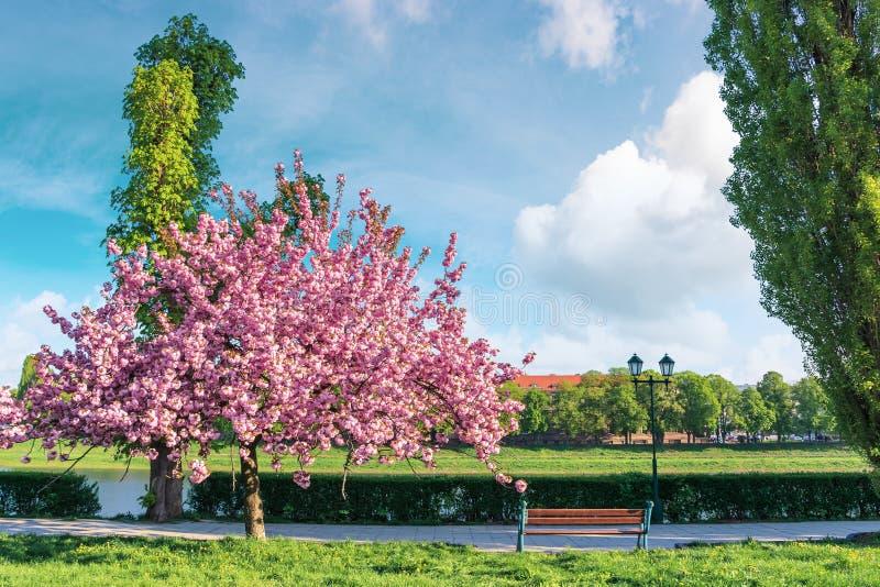 Sakura träd i blomning på invallningen arkivbilder