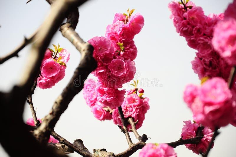 Sakura träd i Peking, Kina royaltyfri bild