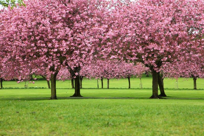 Sakura tr?d fotografering för bildbyråer