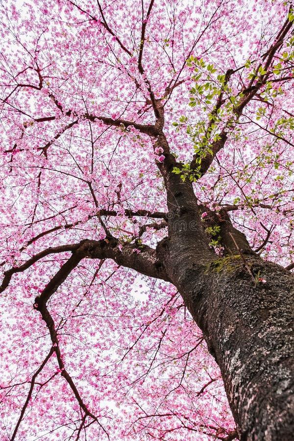 Sakura Tree lizenzfreies stockbild
