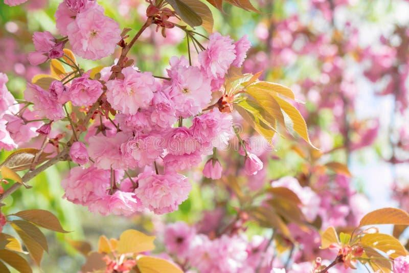 Sakura tree in blossom stock images