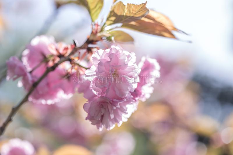Sakura tree in blossom on blue sky. Cherry flowers blossoming in spring. Sakura blooming season concept. Nature, beauty, environme stock images