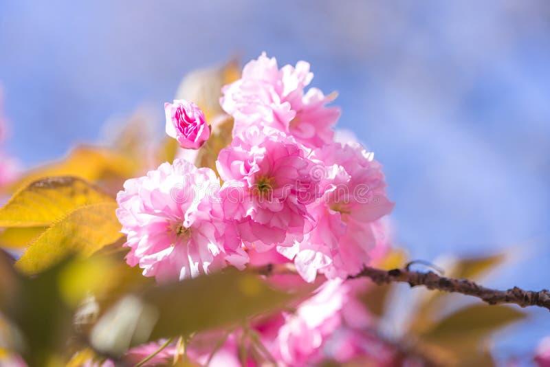 Sakura tree in blossom on blue sky. Cherry flowers blossoming in spring. Sakura blooming season concept. Nature, beauty, environme stock photos